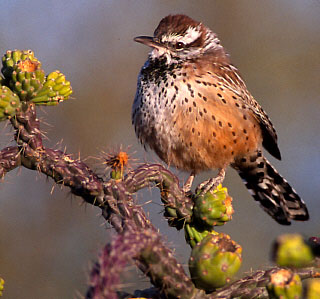 California Cactus Wren biological survey and mapping in Orange County